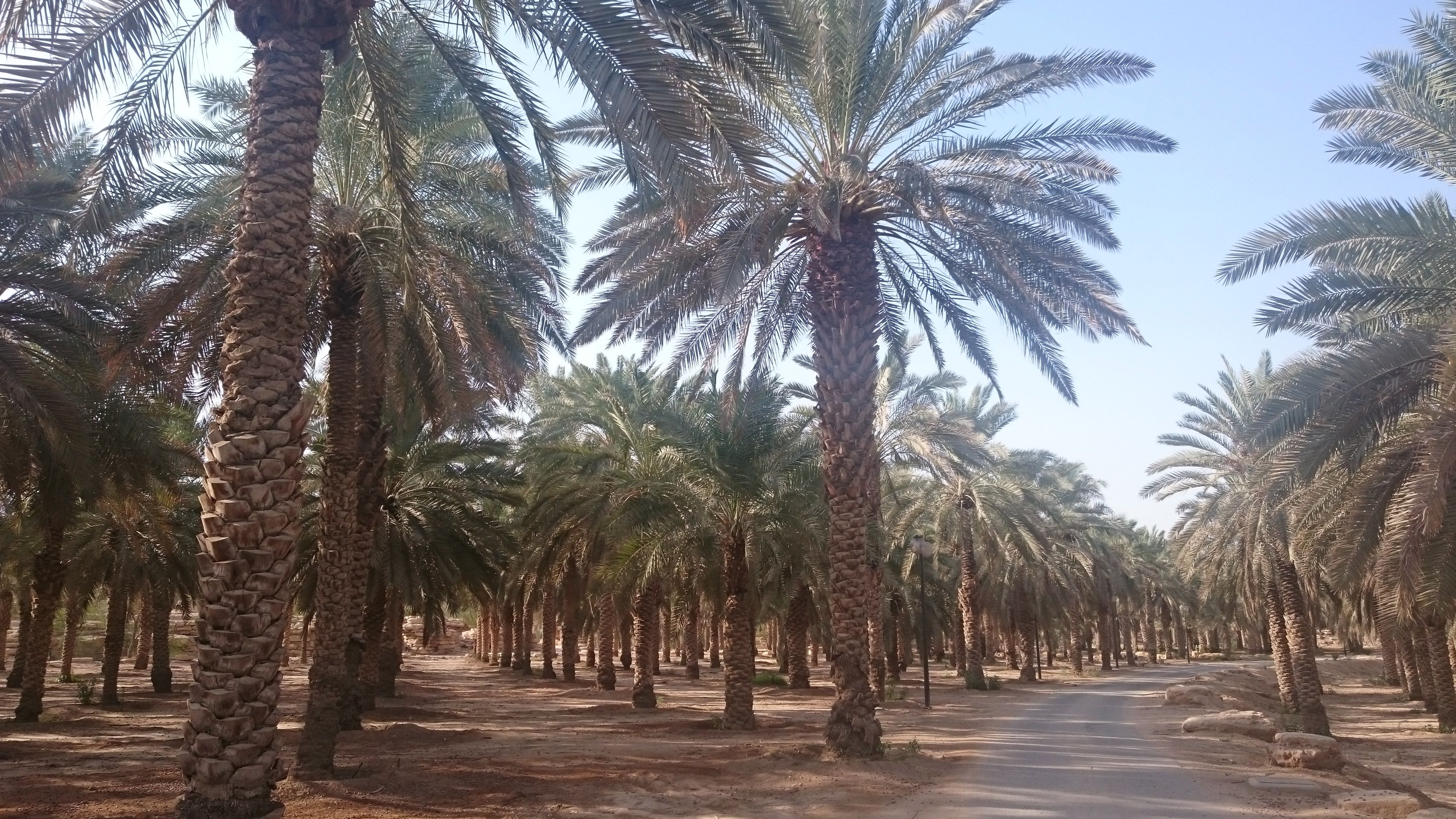 A date palm orchard on the Diplomatic Quarter