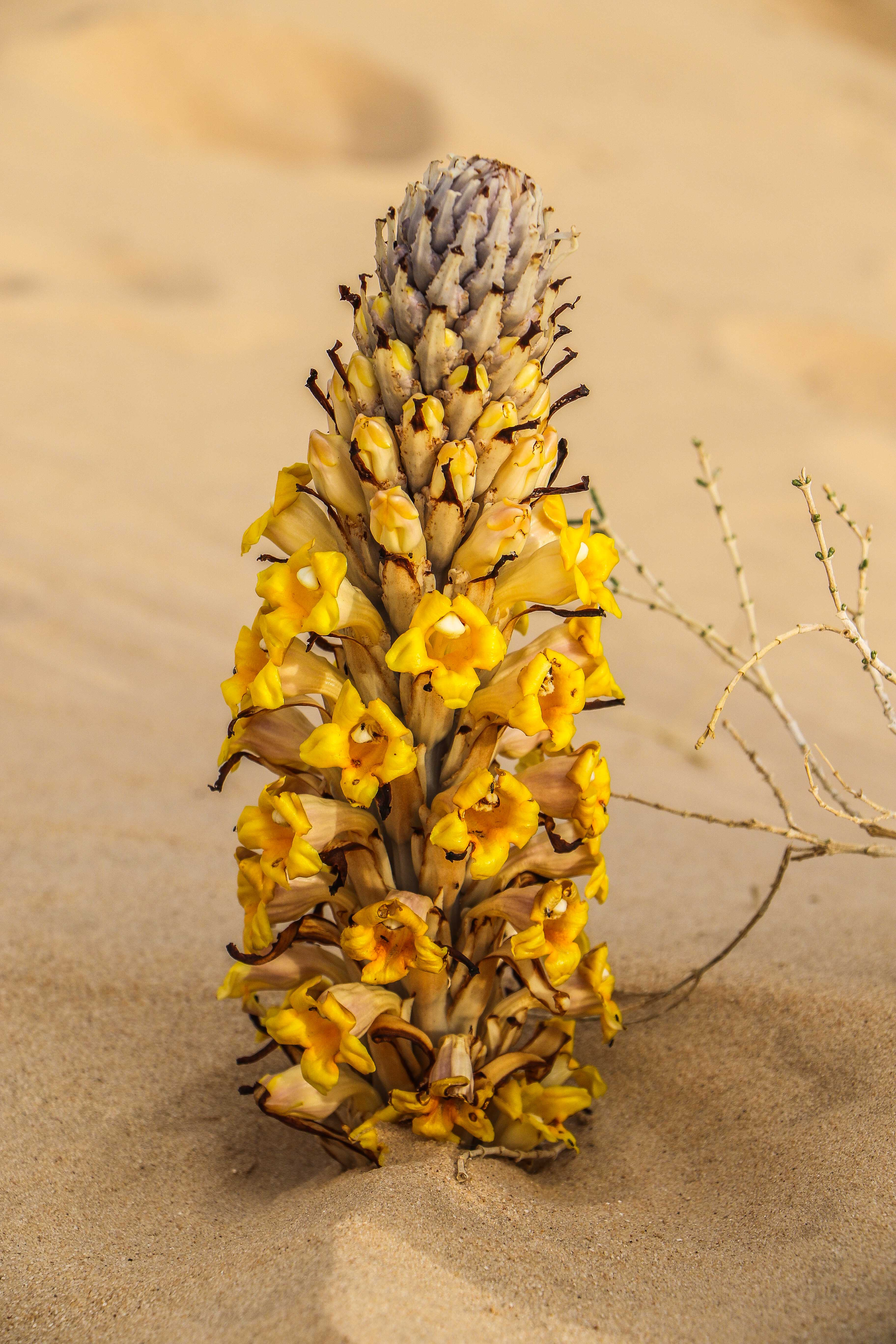 Desert flower in Al-Ahsa (photo: F. Egal)
