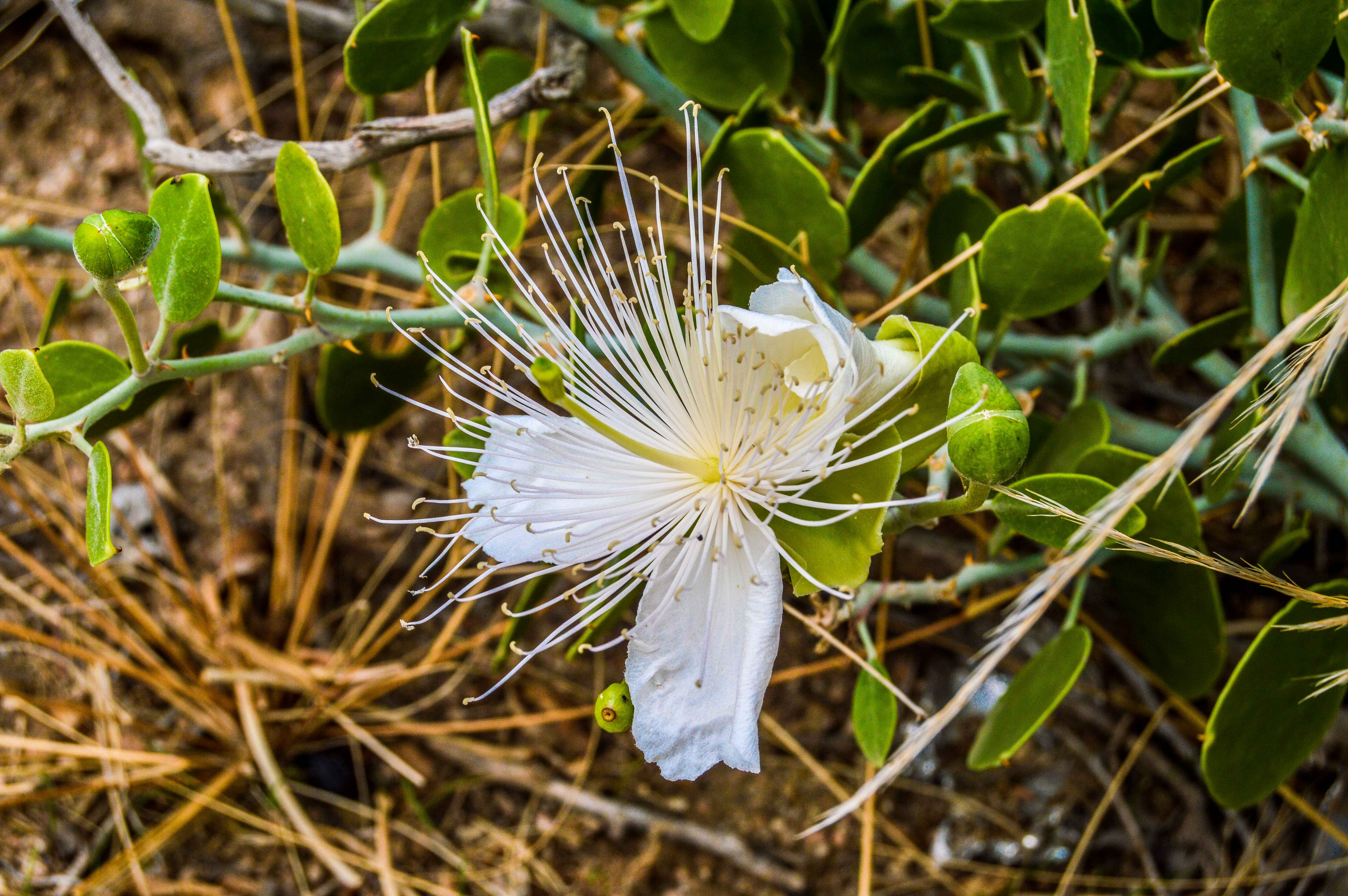 Capparis Cartilaginea (photo: Alan Morrissey)